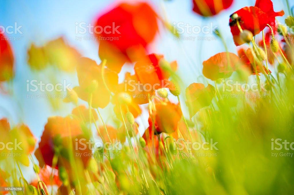 poppy field closeup royalty-free stock photo
