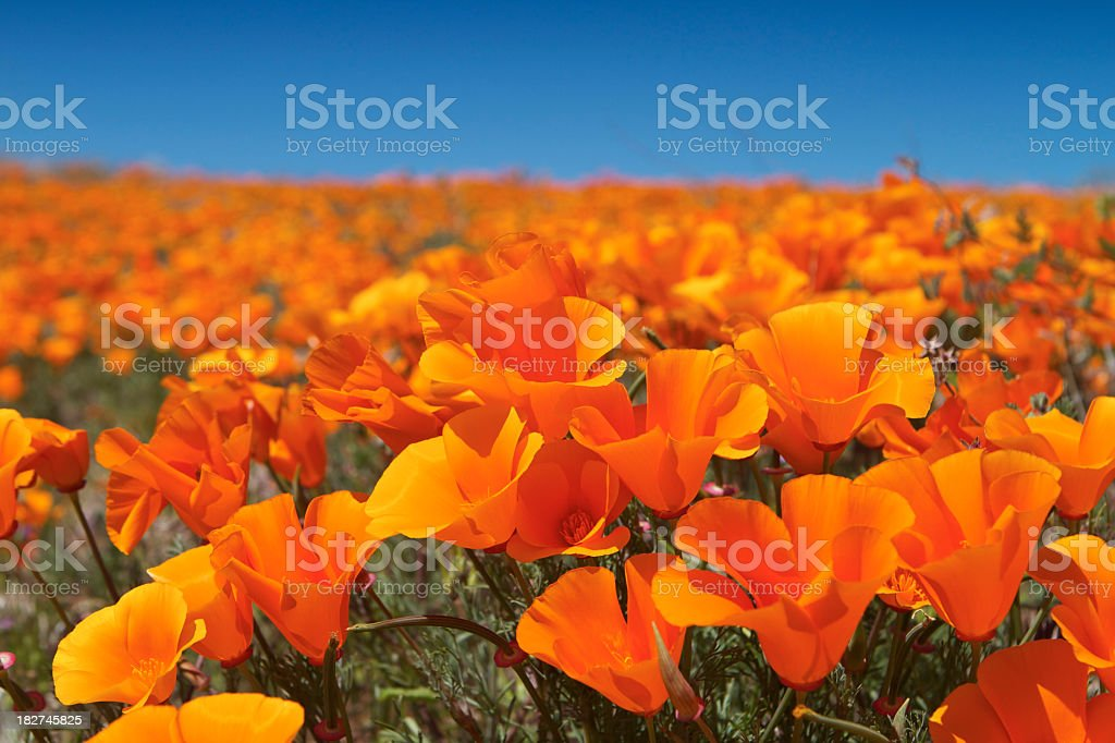 CA poppy field flowers royalty-free stock photo