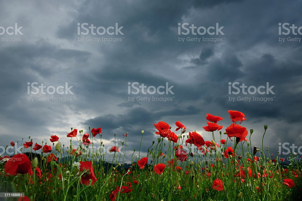 poppy field in cloudy day stock photo