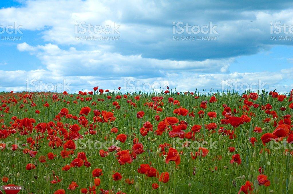 poppy field in green royalty-free stock photo
