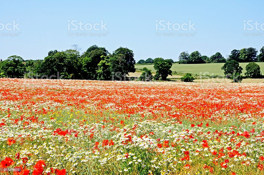 Poppy field in Springtime. stock photo