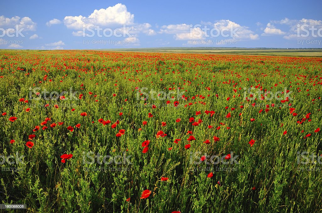 Poppy field in summer day royalty-free stock photo