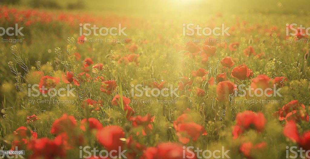 Poppy field in sunset royalty-free stock photo