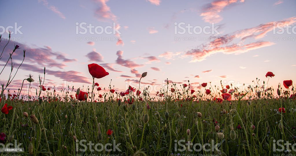 Poppy Field In The Sunset stock photo