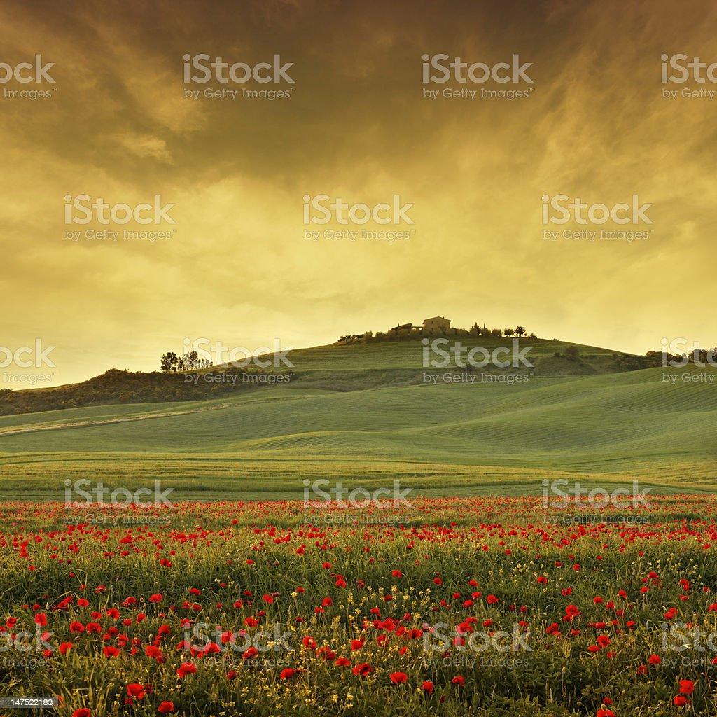 poppy field in Tuscany at dusk royalty-free stock photo