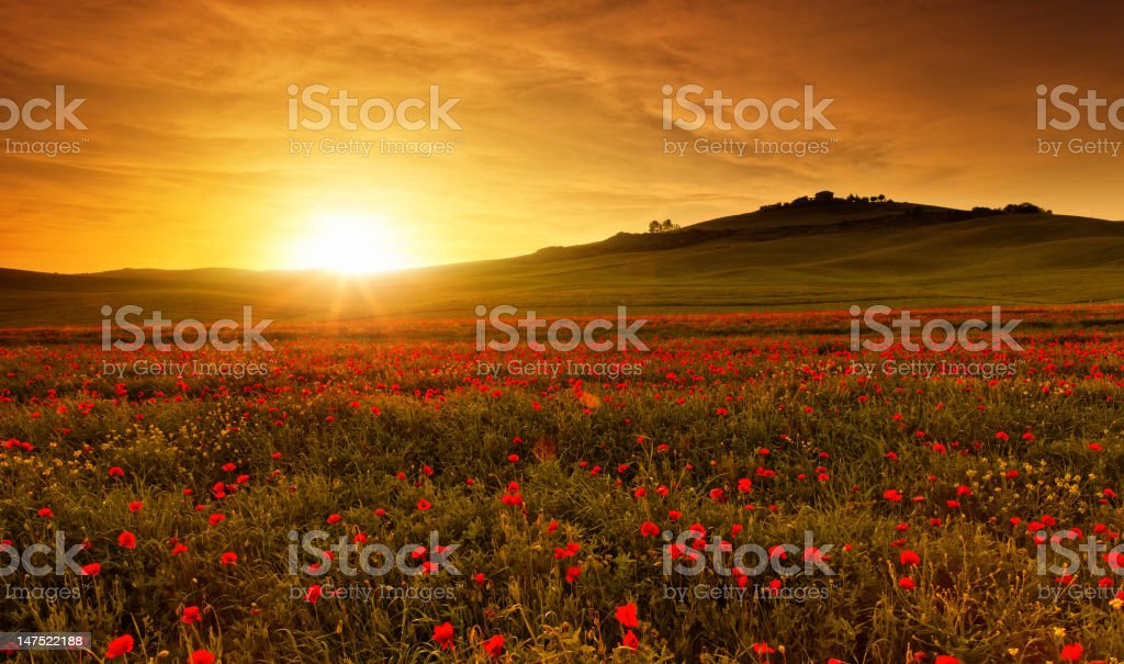 poppy field in Tuscany at sunset royalty-free stock photo