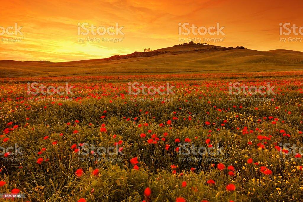 Poppy field in Tuscany at sunset stock photo