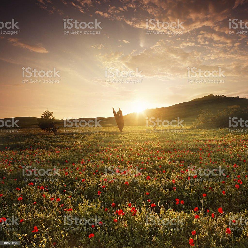 poppy field in Tuscany at sunset royalty-free stock photo