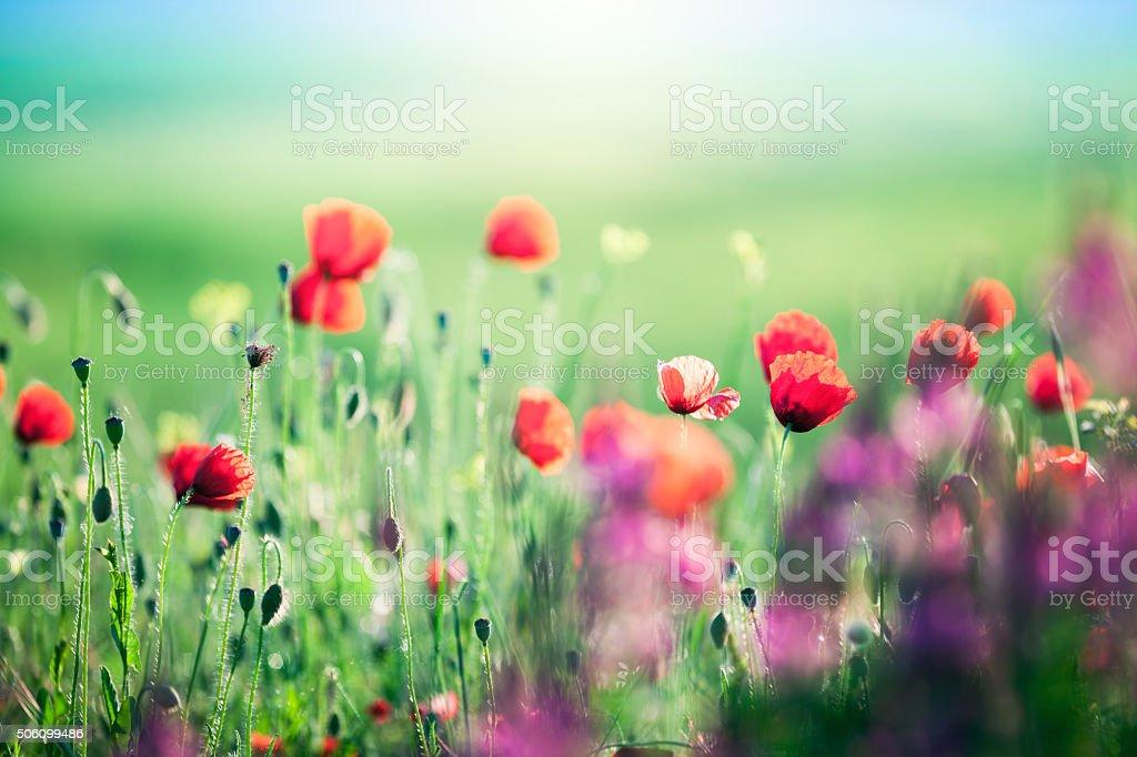 Poppy Field In Tuscany stock photo
