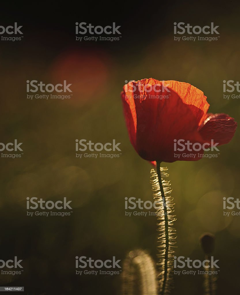 Poppy field landscape in English countryside Summer royalty-free stock photo