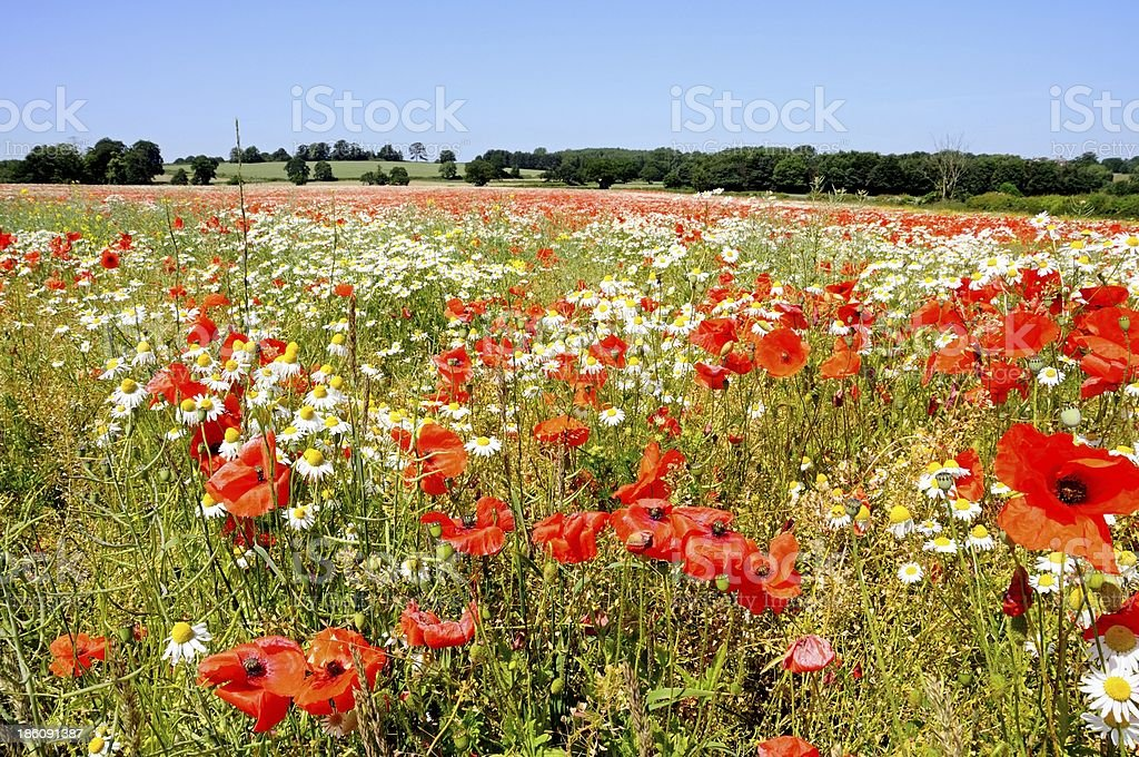 Poppy field, Lichfield, England. stock photo