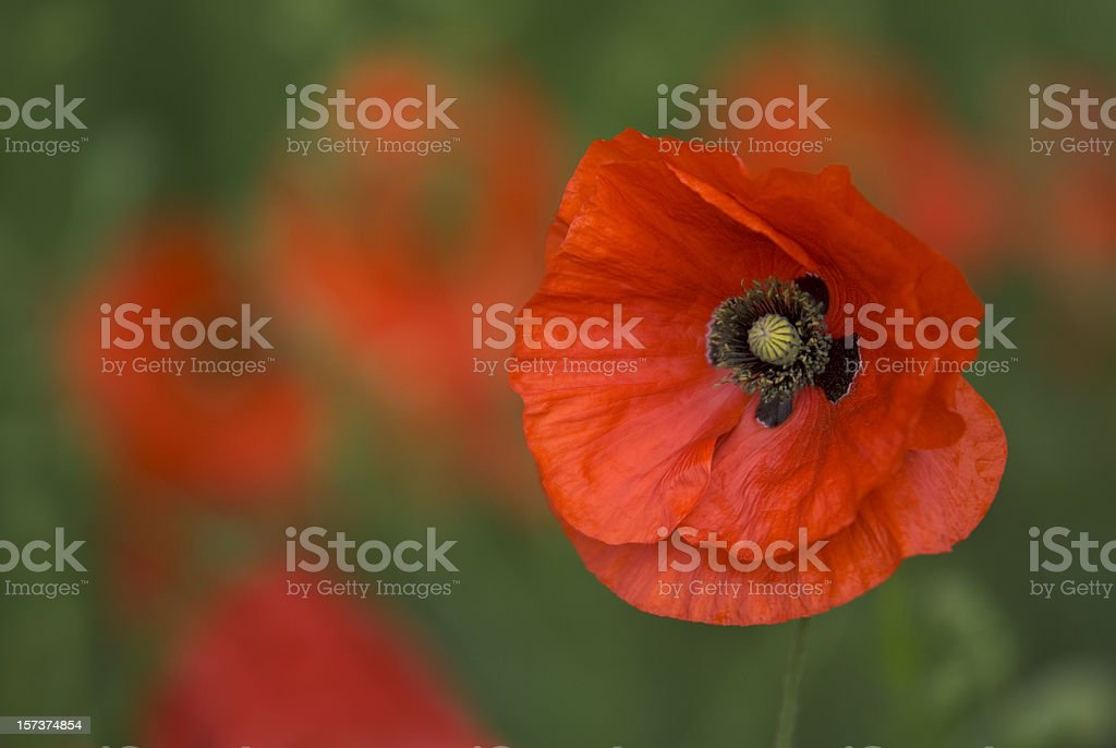 Poppy, Field Of Red & Green, Detailed Close-up royalty-free stock photo