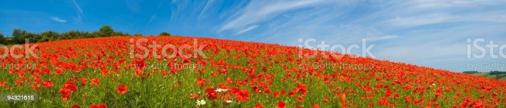 Poppy field panorama stock photo