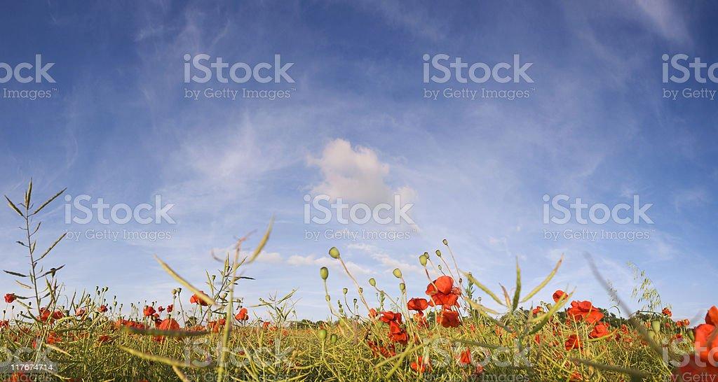 Poppy field. royalty-free stock photo
