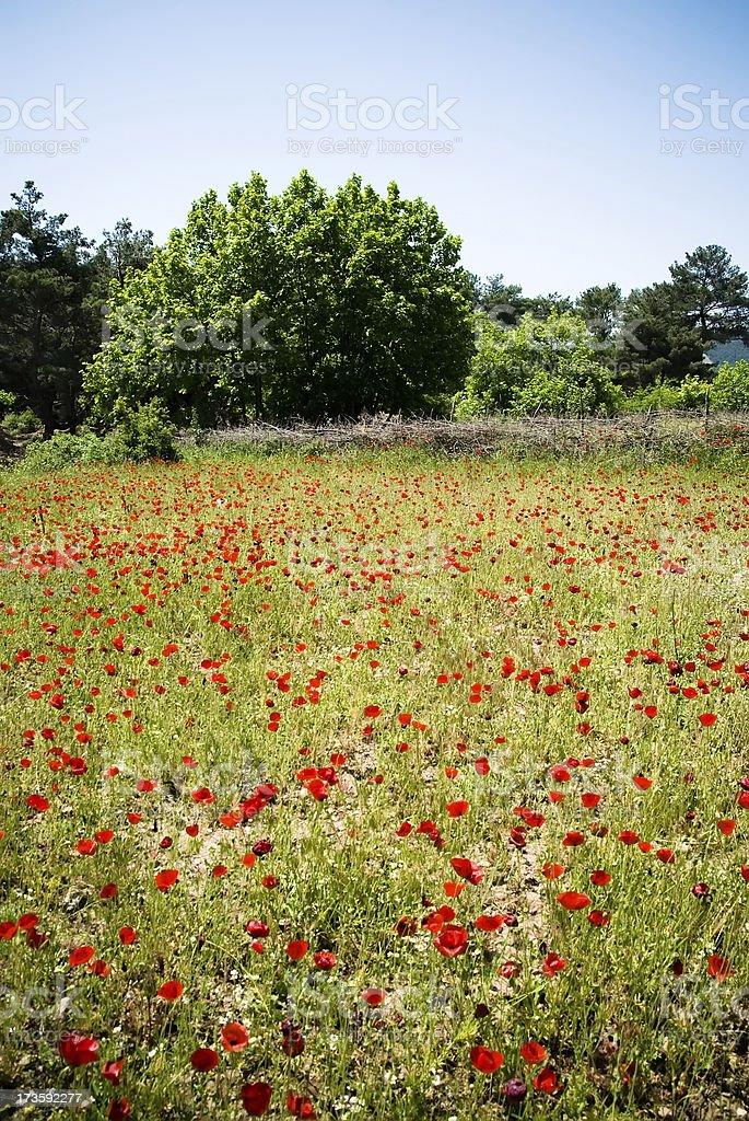 poppy field stock photo