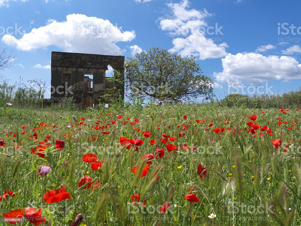 campo de amapolas stock photo