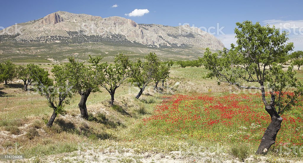 Poppy field with almond trees stock photo