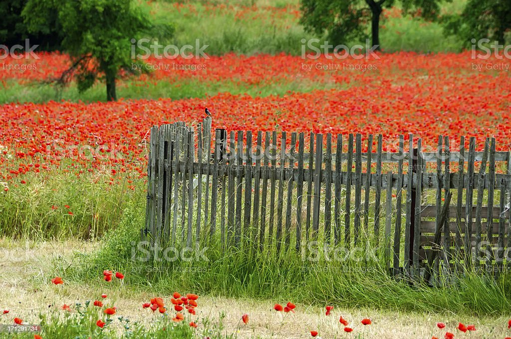 poppy field with fence and bird royalty-free stock photo
