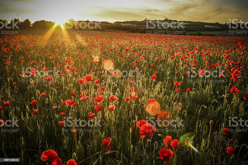 Poppy Field - with Lens Flare stock photo