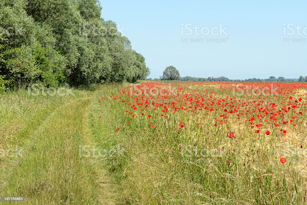 Poppy field with path royalty-free stock photo