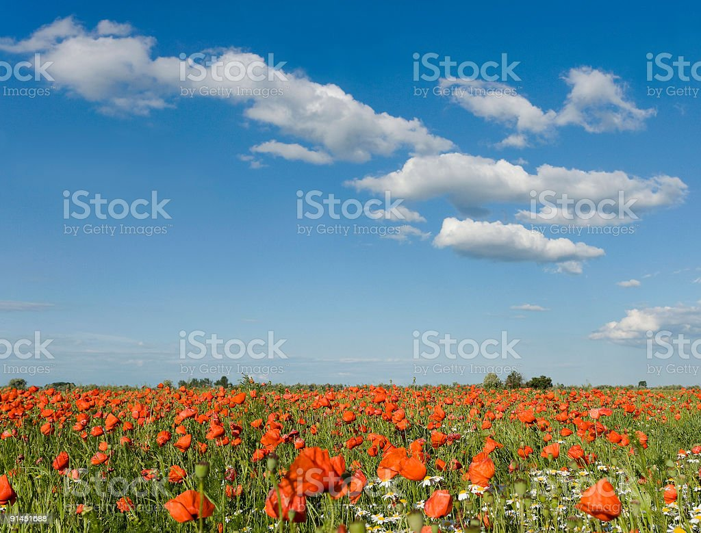 Poppy field with romantic cloudscape royalty-free stock photo