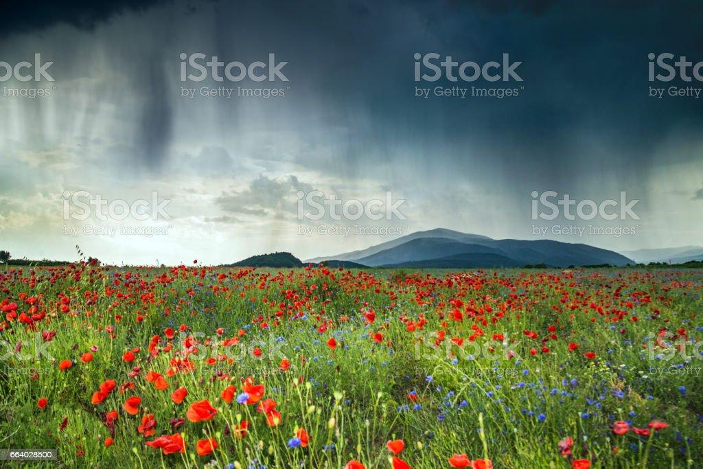 Poppy Fields and sky. stock photo