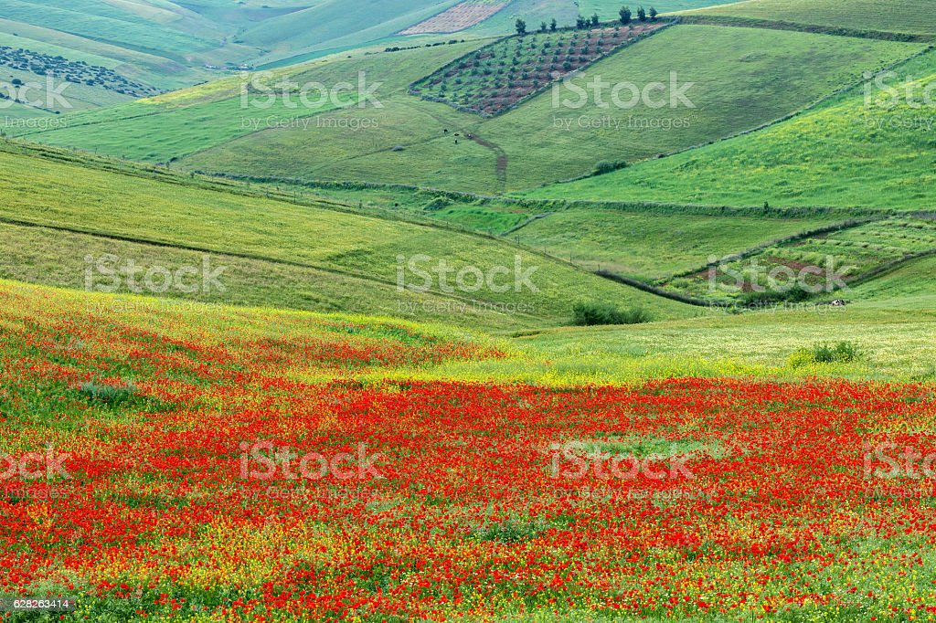 Poppy fields, meadows and olive groves, Morocco, Northern Africa. stock photo
