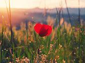 Poppy flower at sunrise of the Tuscany region