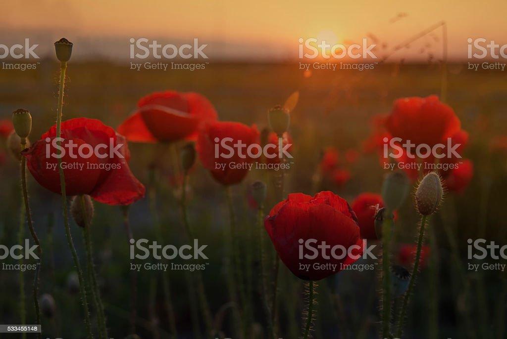 Poppy flower at sunset stock photo