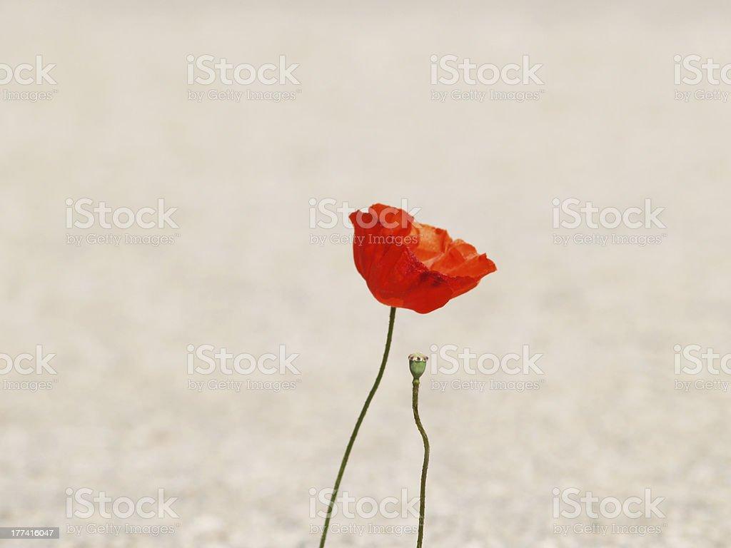 poppy flower at the road edge stock photo