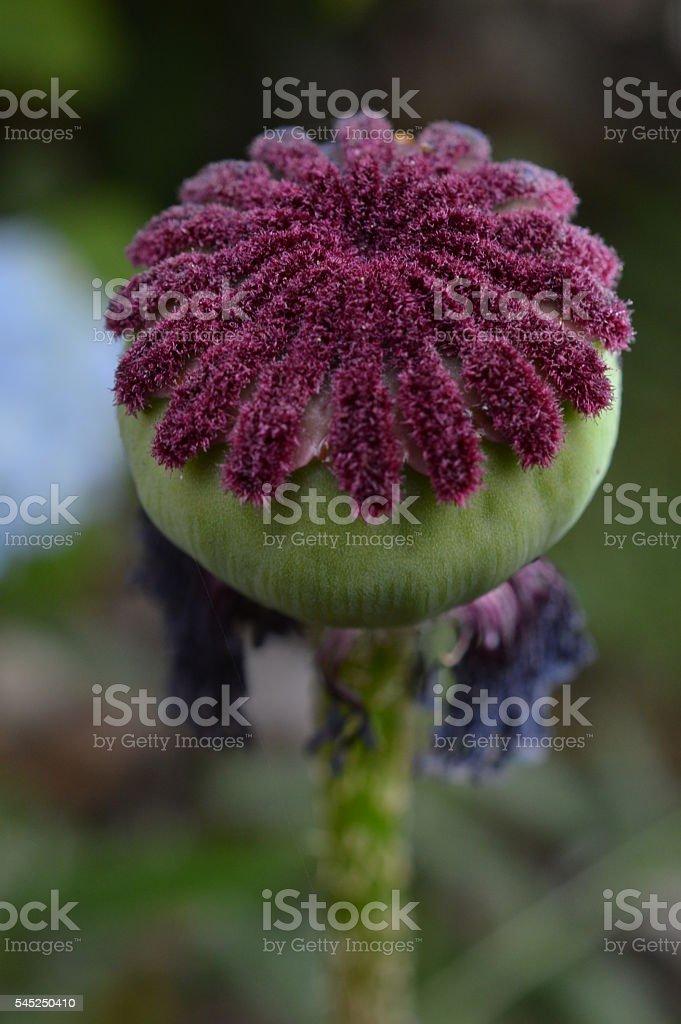 Poppy Flower Center royalty-free stock photo