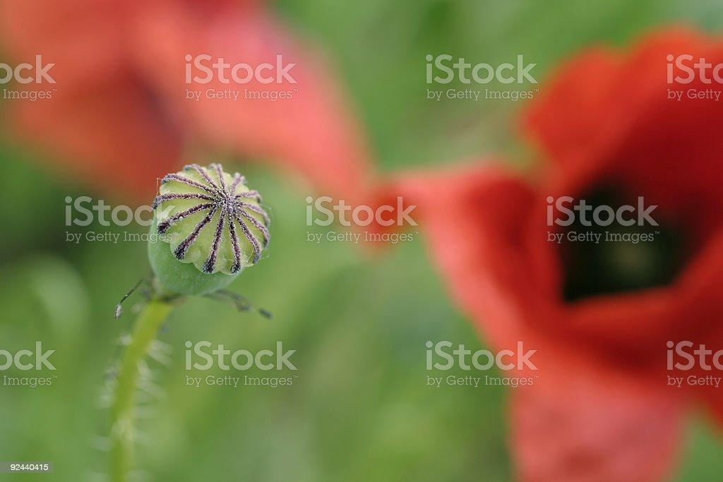 poppy flower - detail stock photo
