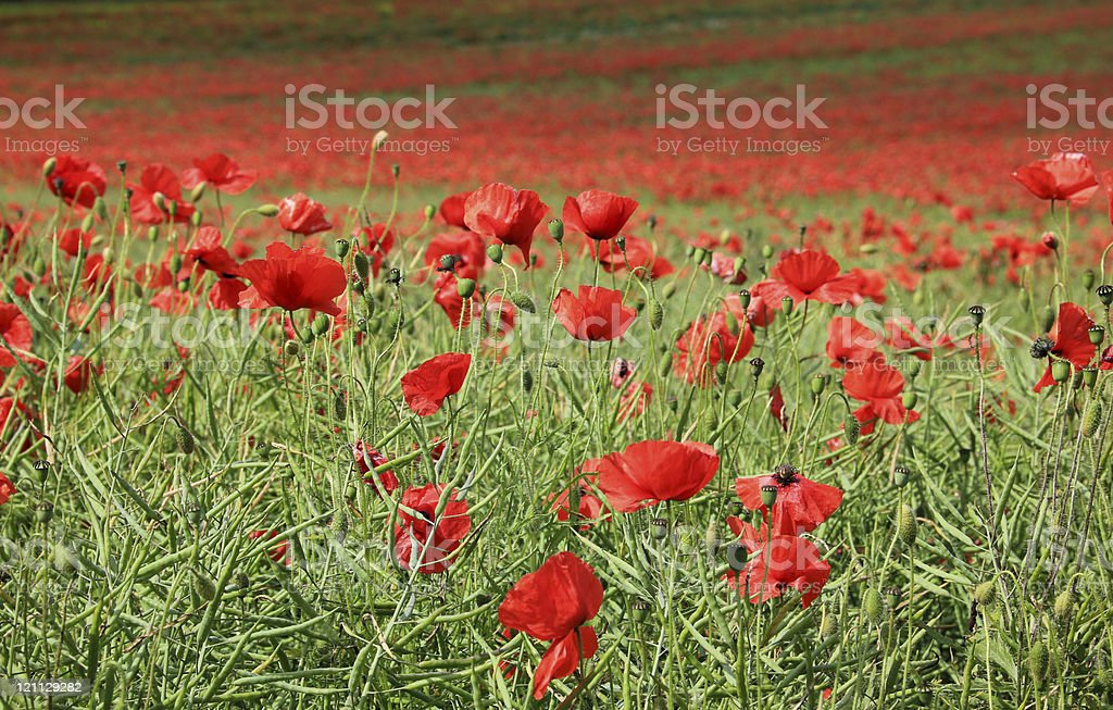 poppy flower field tring hertfordshire royalty-free stock photo