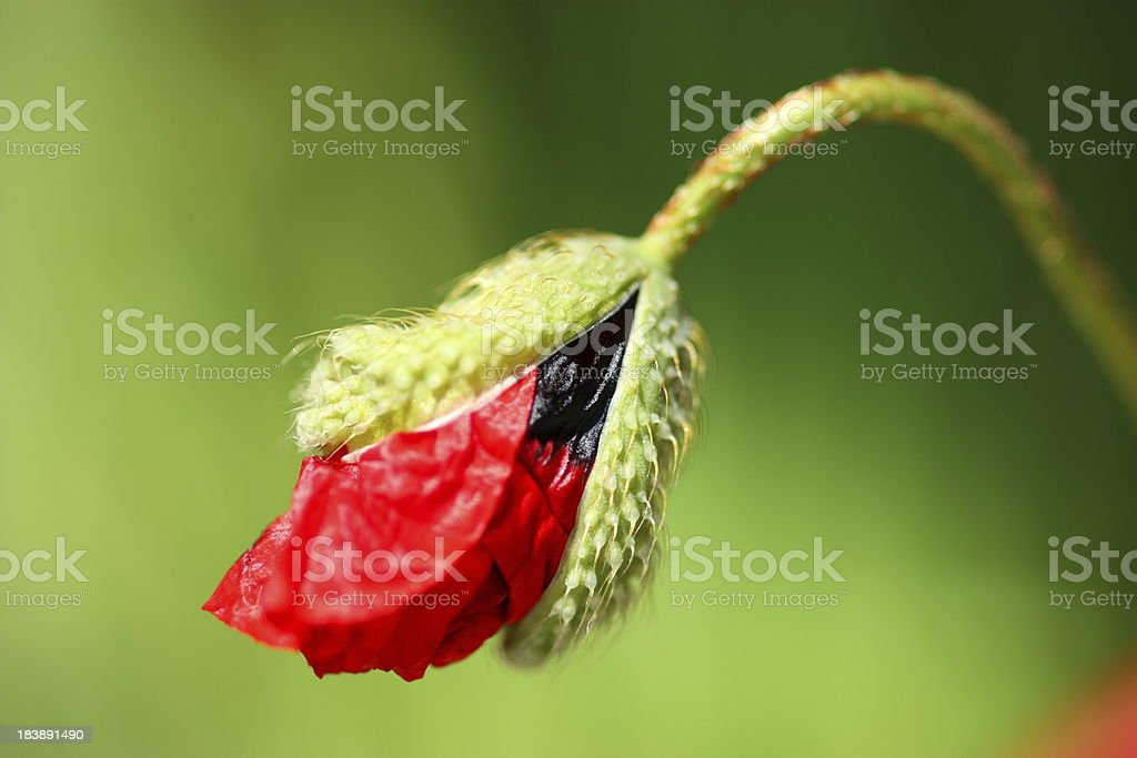 Poppy Flower Head Opening stock photo