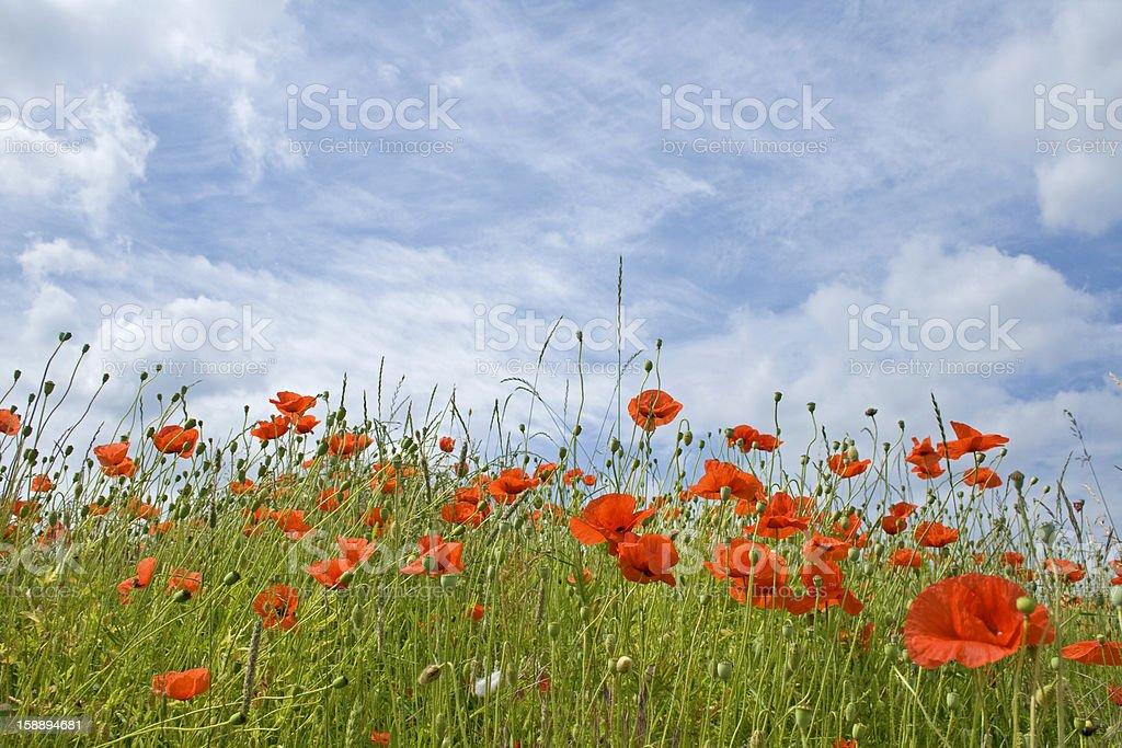 Poppy flower in field, summer landscape. royalty-free stock photo
