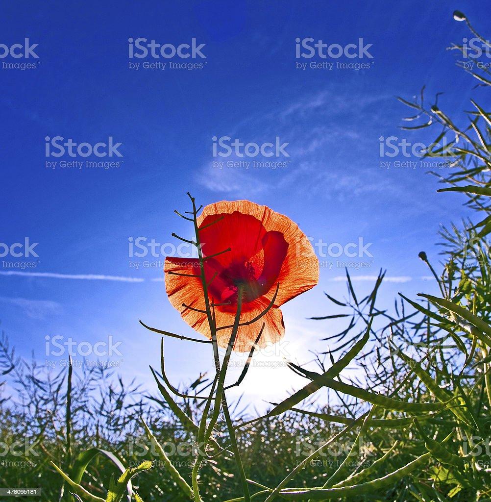 poppy flower in meadow royalty-free stock photo