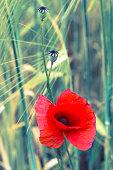 Poppy flower macro vintage optics