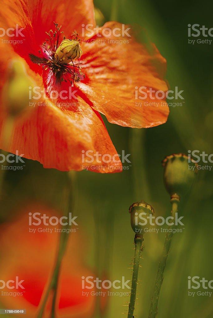 Poppy flower (Papaver rhoeas - Field poppy) stock photo