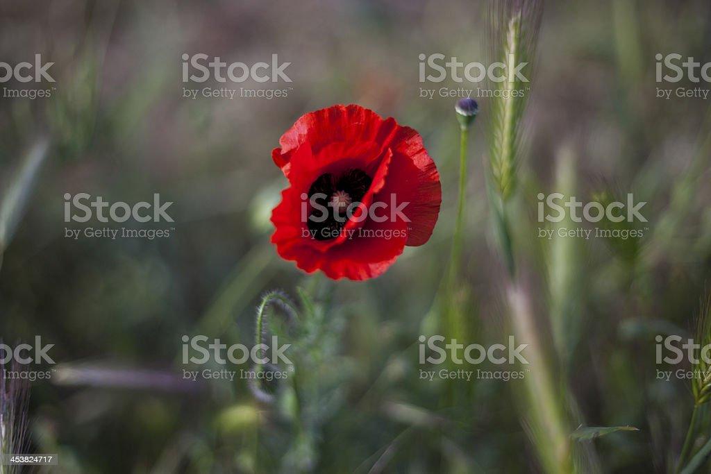 Poppy flower royalty-free stock photo