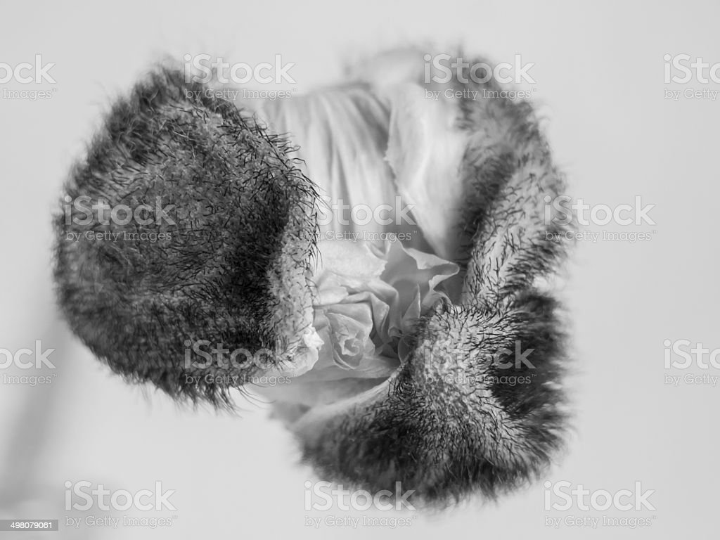 poppy  flower  (papaver) stock photo