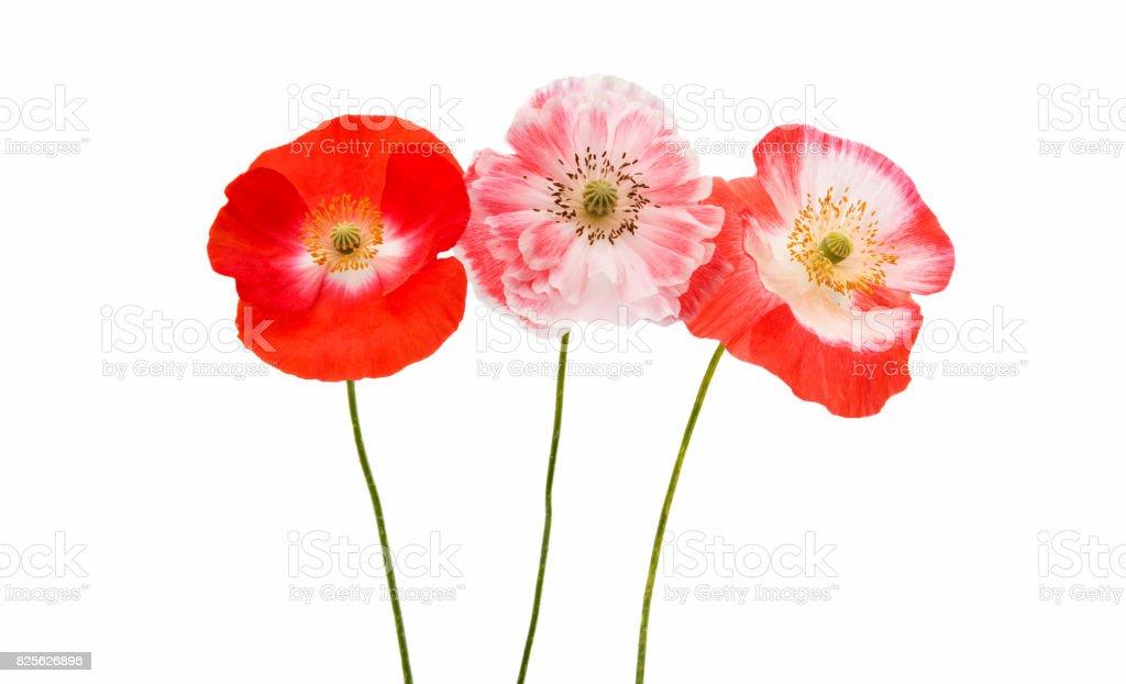 poppy flower stock photo