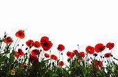 Poppy flower1