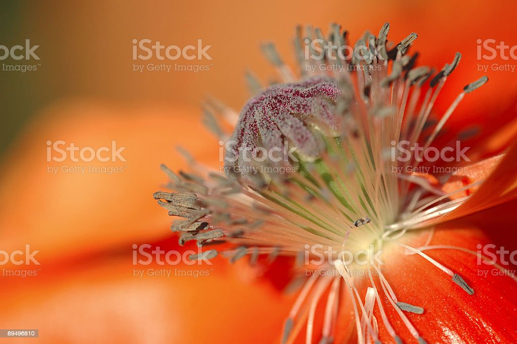 Poppy Flowerhead royalty-free stock photo