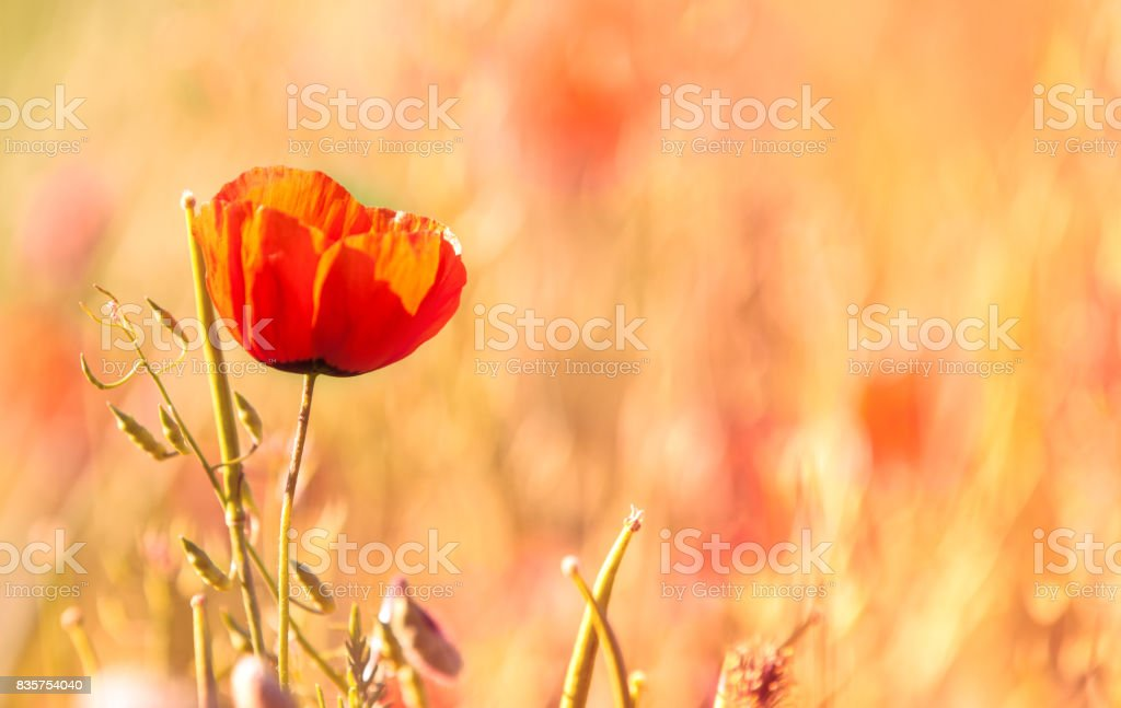 Poppy flowers. a herbaceous plant with showy flowers, milky sap, and rounded seed capsules. Many poppies contain alkaloids and are a source of drugs such as morphine and codeine. stock photo
