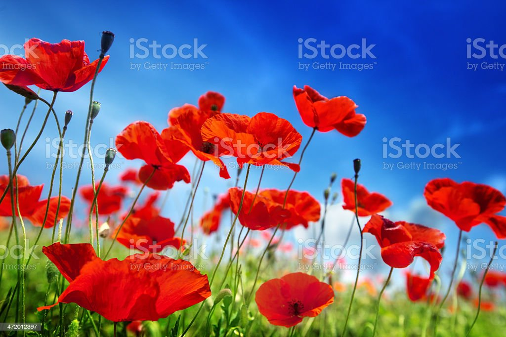 poppy flowers and sunny day stock photo
