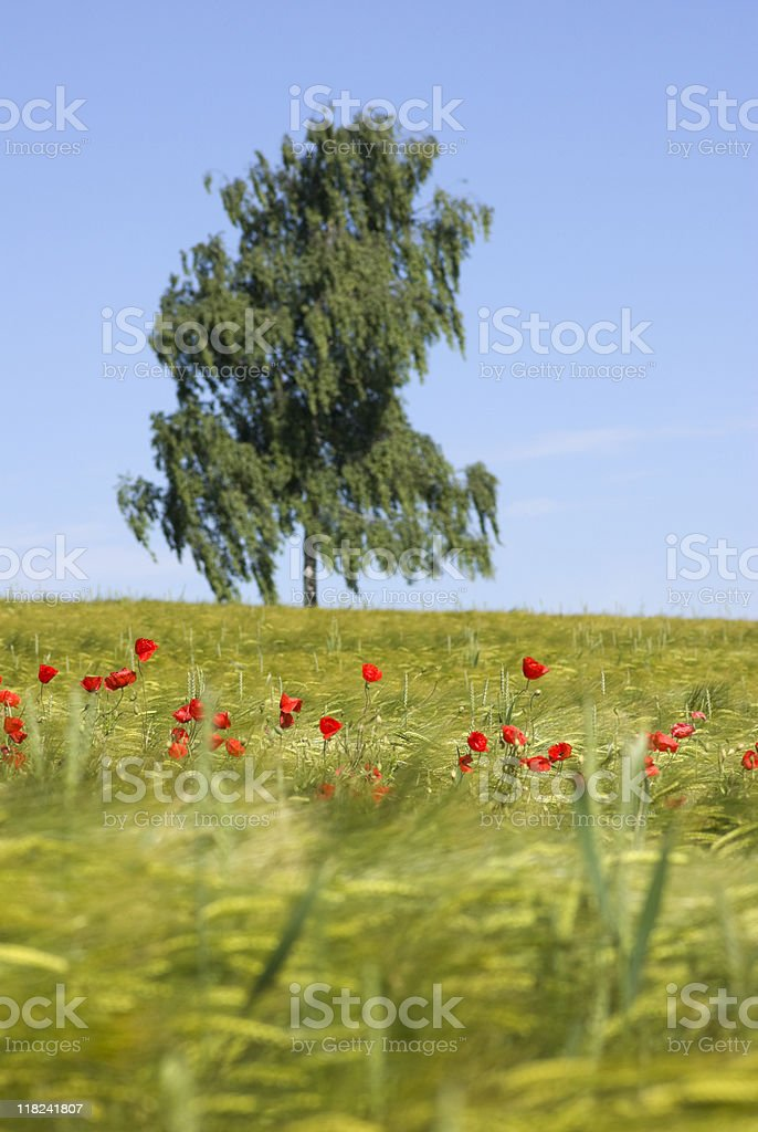 Poppy flowers in a field of barley royalty-free stock photo