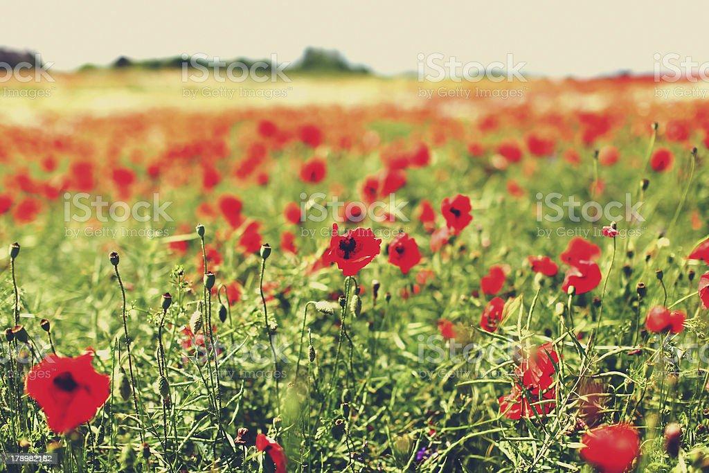 Poppy flowers in a meadow stock photo