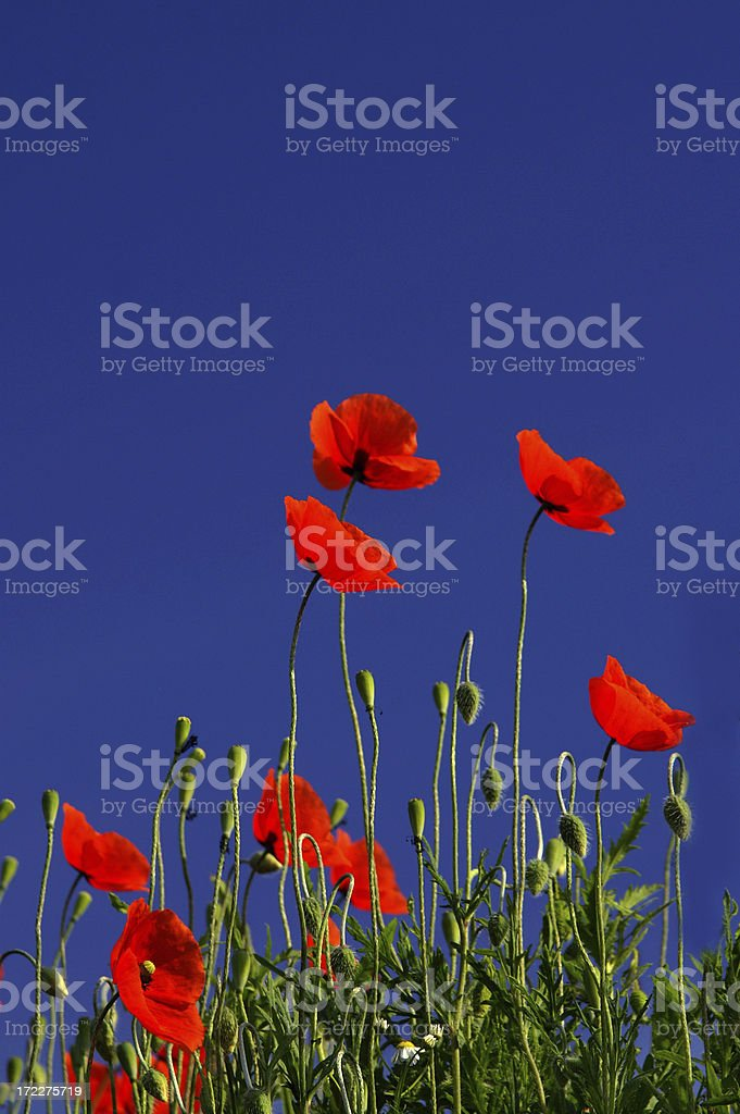 Poppy flowers in front of a blue sky royalty-free stock photo