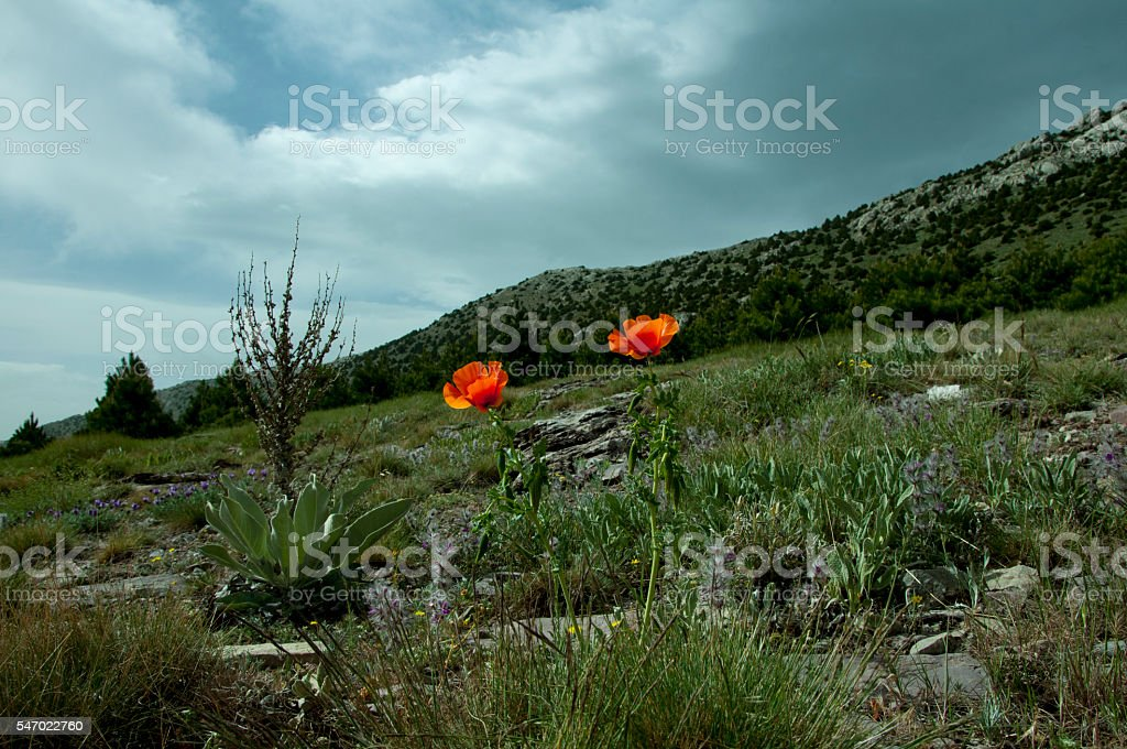 poppy flowers in spring royalty-free stock photo