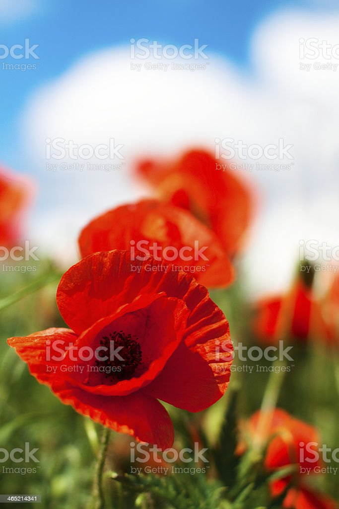 Poppy flowers in sunny day stock photo